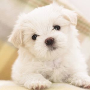 download Wallpapers For > Cute Puppy Wallpaper Hd