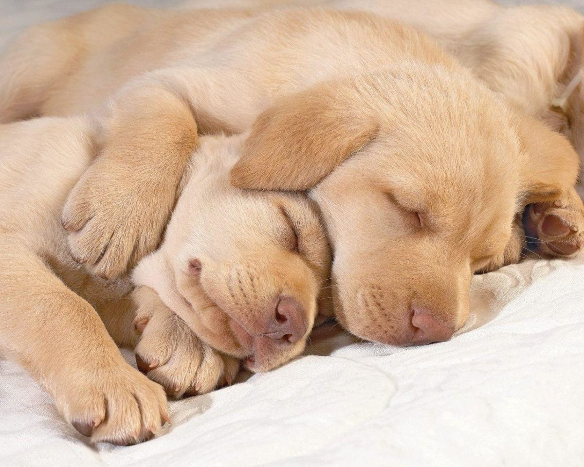 1280×1024 Sleeping puppies desktop PC and Mac wallpaper