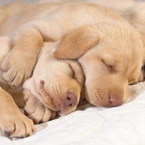 download 1280×1024 Sleeping puppies desktop PC and Mac wallpaper