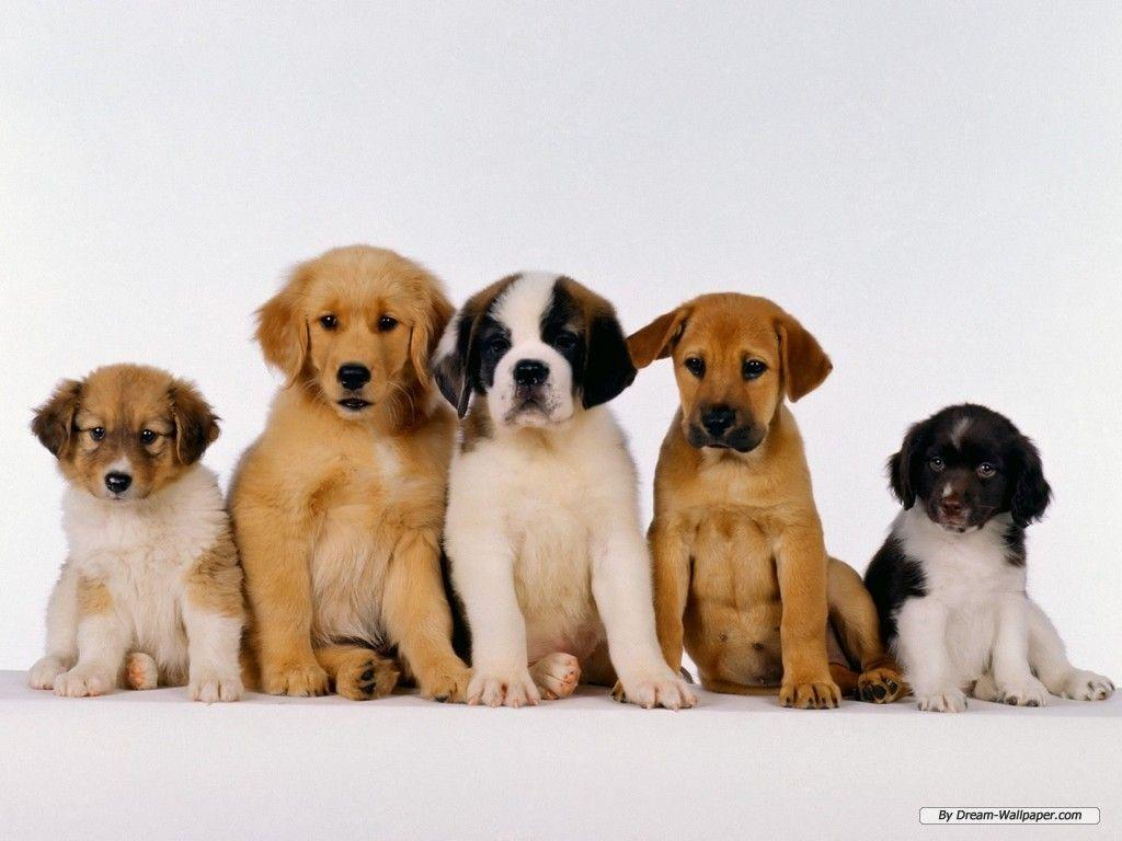 Puppy Wallpaper – Dogs Wallpaper (7013390) – Fanpop