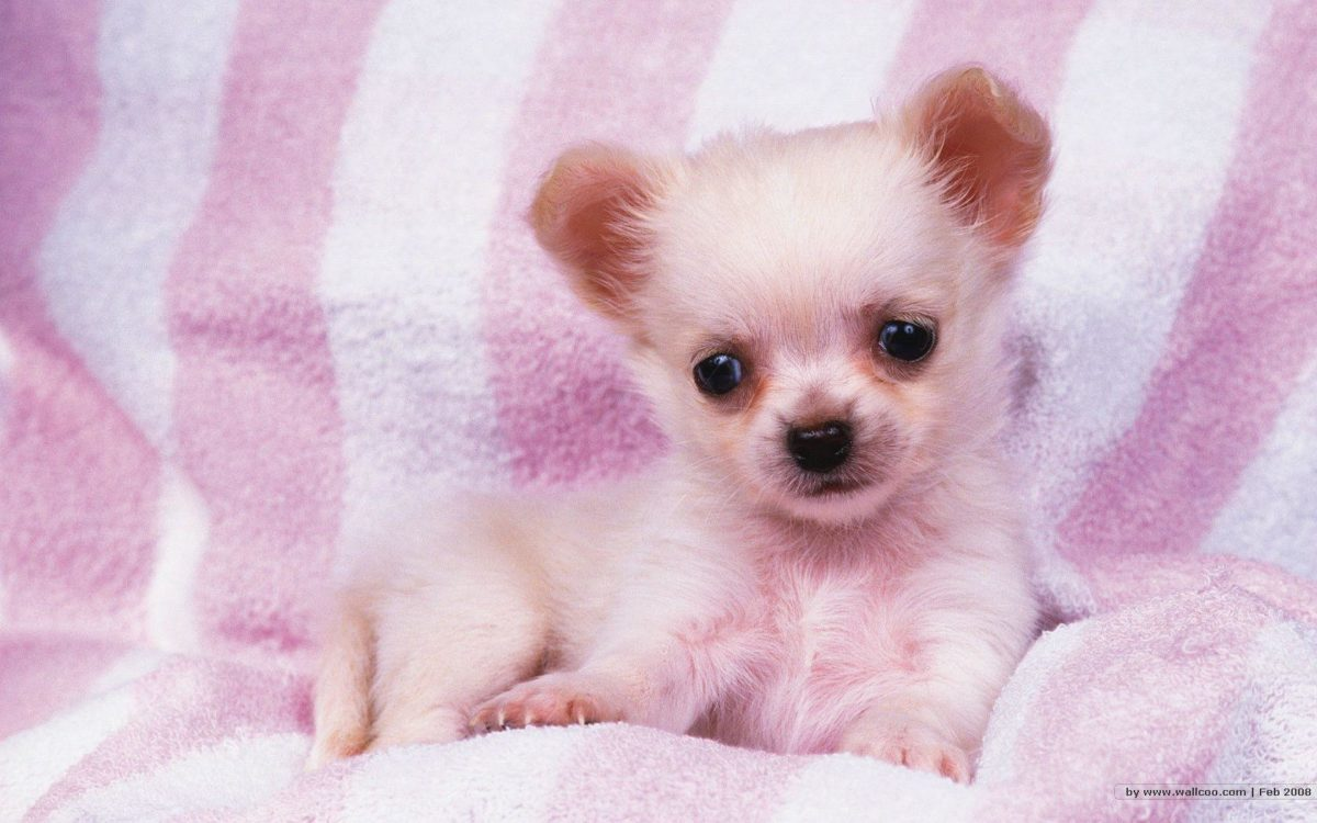 1680*1050 Lovely Puppy wallpapers / Lovely Puppies Photos …