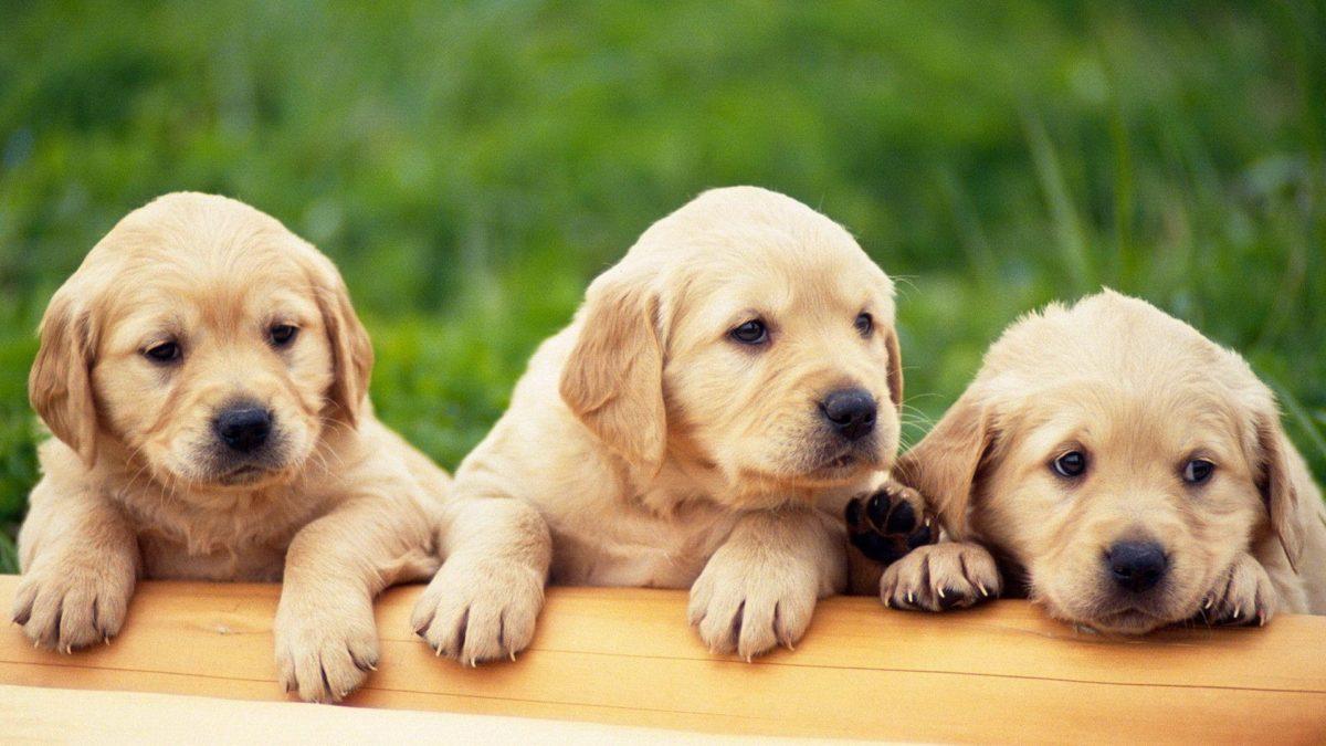Puppies HD Wallpapers – HD Wallpapers Inn