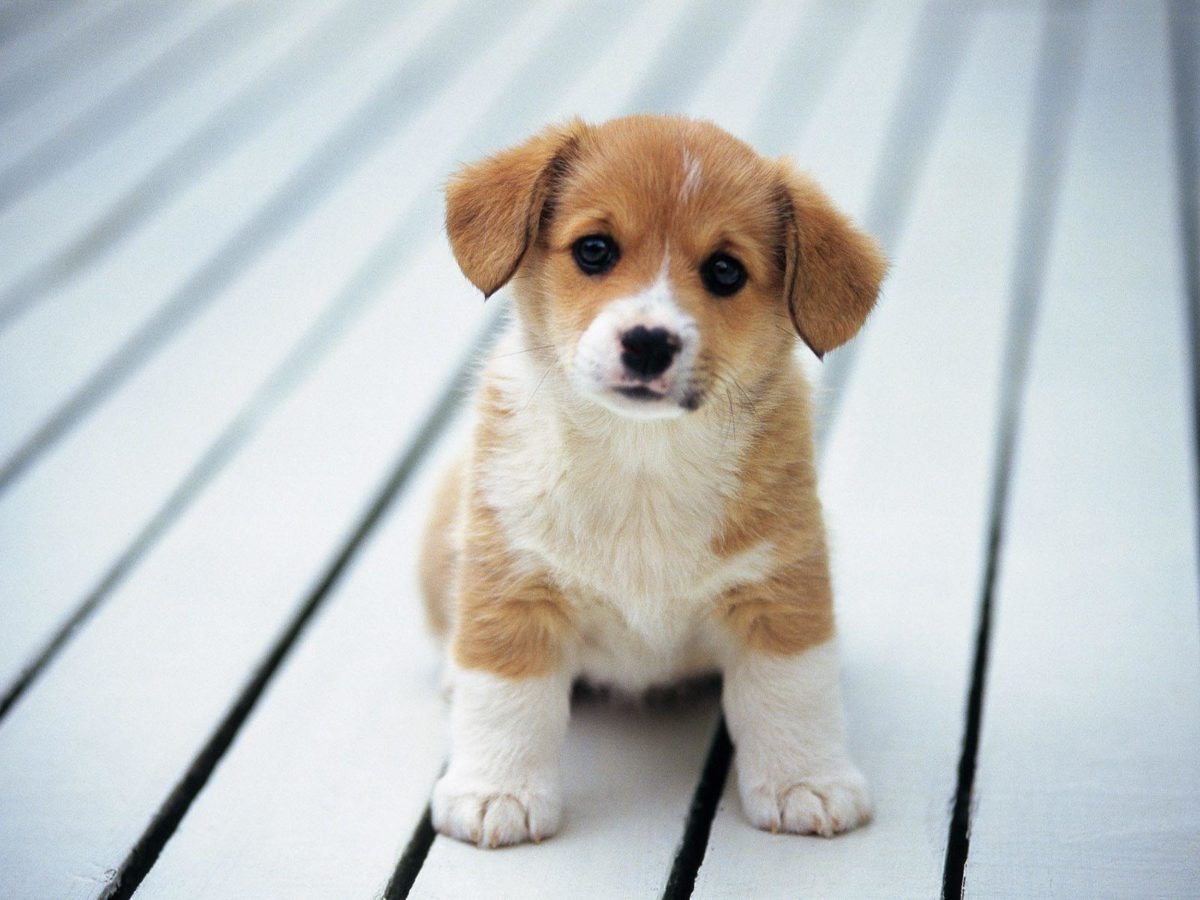 Puppies Wallpapers – Viewing Gallery