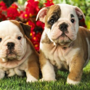 download English Bulldog Puppies Wallpaper 1080p « Desktop Background …