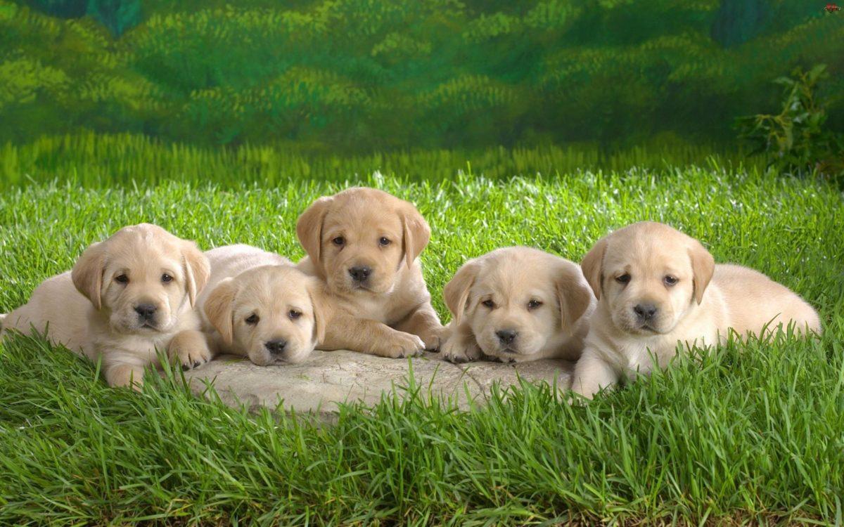Wallpapers For > Puppies Wallpaper For Desktop