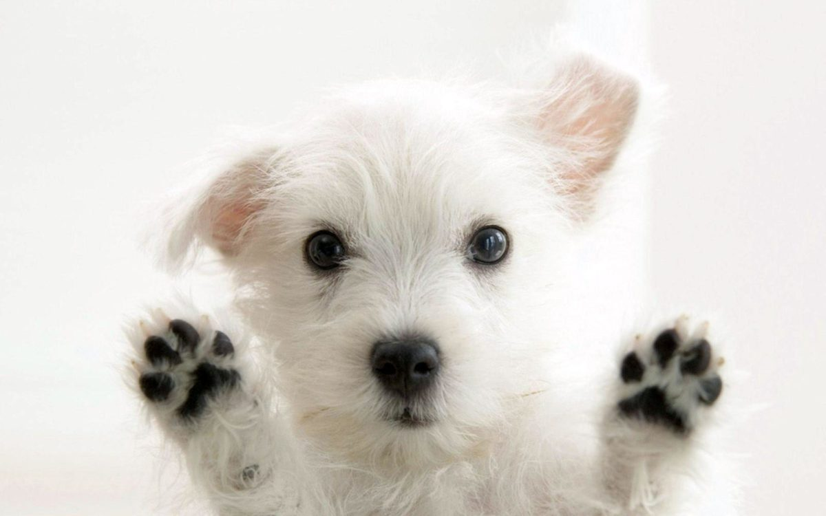 Funny White Cute Puppies, Animals Wallpaper, hd phone wallpapers …