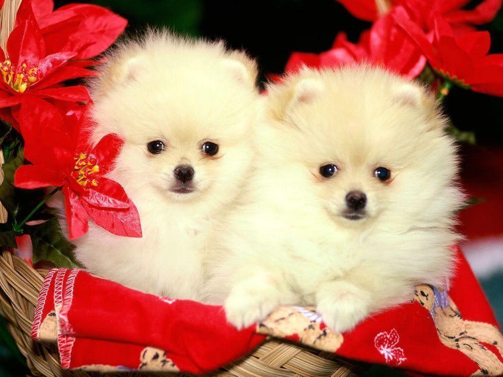 Christmas Puppies wallpaper