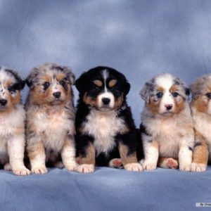 download Funny Animals Zone: Puppies Wallpapers 2012