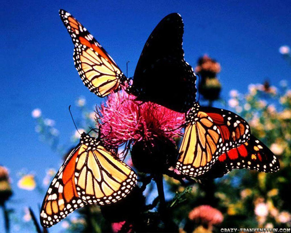 Love Wallpaper: Butterfly Wallpapers