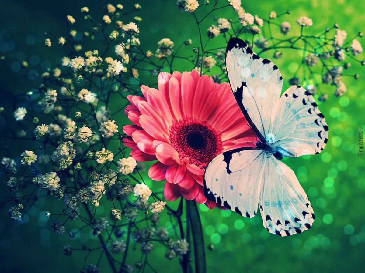 Butterflies Wallpapers Download #17580) wallpaper – wallatar.